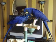 Adorable Hyacinth Macaw Birds For Sale.